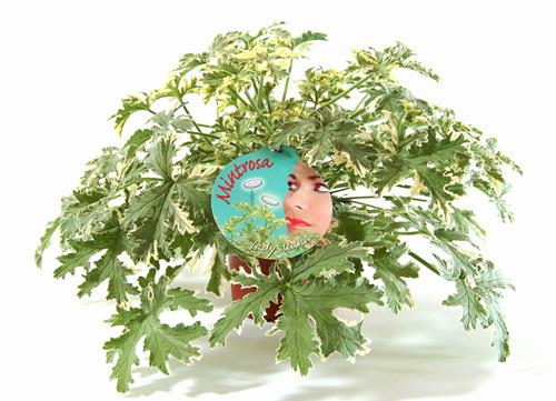 Mintrosa Cara alami mengusir nyamuk!